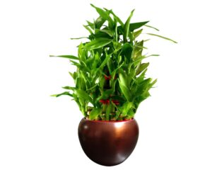 Best lucky bamboo plant in india 2021